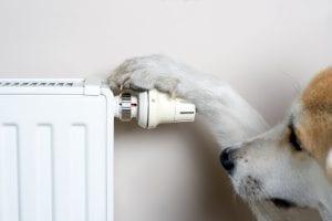 A dog adjusting comfort temperature on radiator.